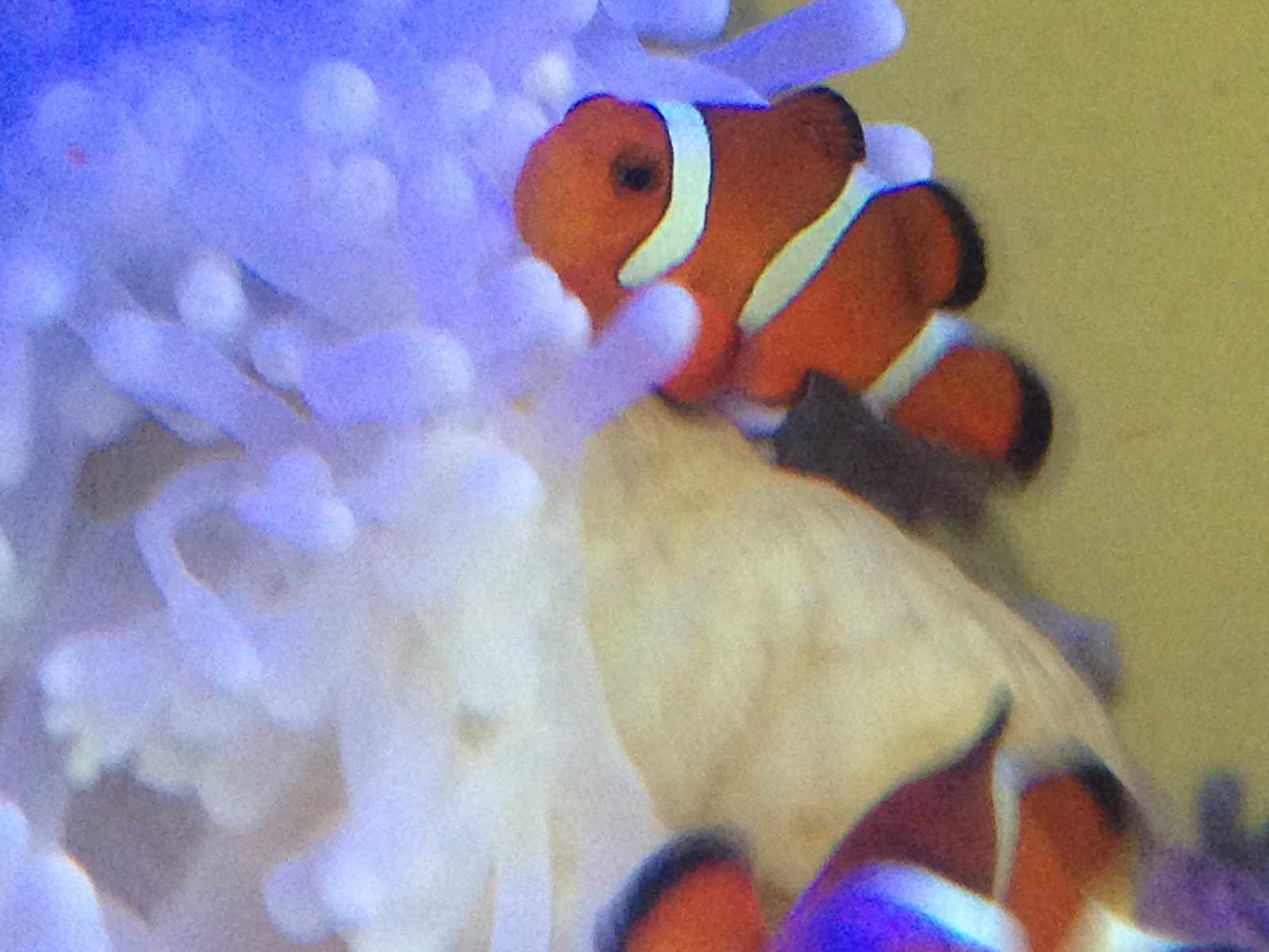 Clowns Loving the Ritteri Anemone