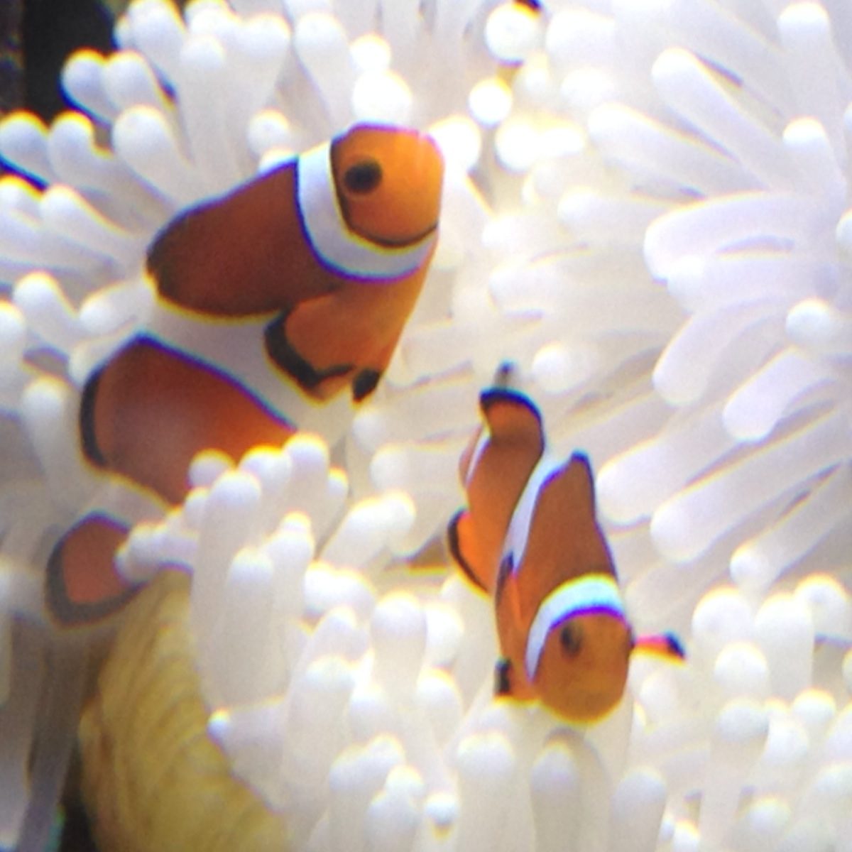 Clowns love the new anemone