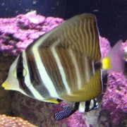 Mizzourah, the Sailfin Tang