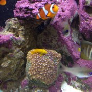 Clownfish, Yellow Clown Goby (on coral)